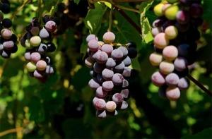 Penticton Wine and Penticton Vineyards